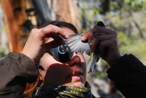 Sete examinando con una lupa las plumas de un junco en busca de ácaros.
